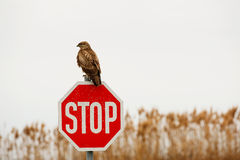 Hawk on a sign post Royalty Free Stock Photos
