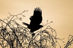 Hawk silhouette. Silhouette of a flying hawk Stock Photography