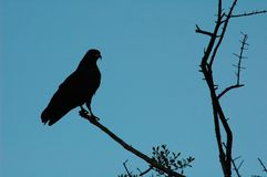 Hawk silhouette. A hawk silhouette Stock Image