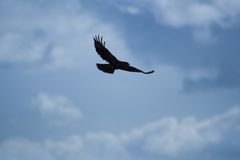 Hawk silhouette. Silhouette of a flying hawk Royalty Free Stock Image