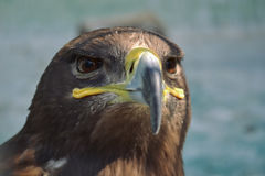 Hawk is similar to the Eagle. The birds of prey as well. Stock Photography