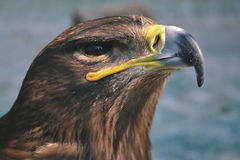 Hawk is similar to the Eagle. The birds of prey as well. Royalty Free Stock Photography