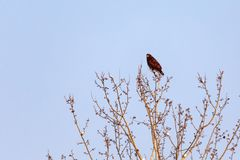 Hawk is similar to an eagle, a predator. In the branches royalty free stock images