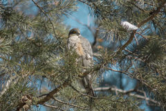 A hawk sits on a tree branch. A hawk sits on a branch of a pine Royalty Free Stock Images