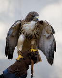 Hawk sitting  Stock Images
