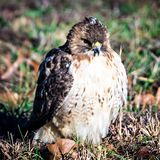 Hawk sitting in backyard on green lawn Royalty Free Stock Photo