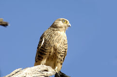 Hawk. Sitting on a branch Stock Photography
