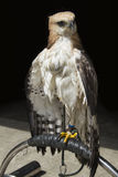 Hawk sitting on branch Stock Photos