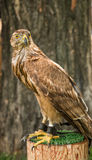 A hawk is sitting chained on a stump, with a dark brown tree in the bac Royalty Free Stock Images