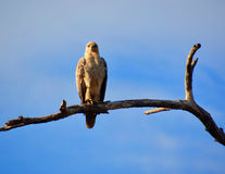 Hawk sitting on a dead branch. Looking straight ahead. In a game reserve in Kenya Royalty Free Stock Photography