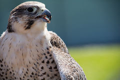 A hawk sitting and eating. His pray royalty free stock photos