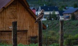 Lone Hawk royalty free stock photos
