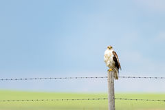 Hawk sitting on fence post Royalty Free Stock Photo