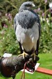 Hawk sitting on Glove Royalty Free Stock Photo