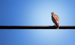 Hawk Sitting on Wire Stock Images