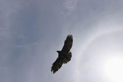 Hawk in sky Royalty Free Stock Images