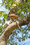 Hawk with snake in tree Royalty Free Stock Photo