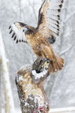 Hawk In The Snow atado vermelho Fotografia de Stock Royalty Free