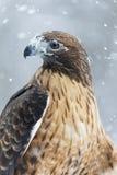 Hawk In The Snow atado vermelho Imagens de Stock