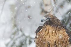 Hawk In The Snow atado vermelho Fotos de Stock