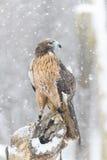 Hawk In The Snow atado vermelho Imagens de Stock Royalty Free