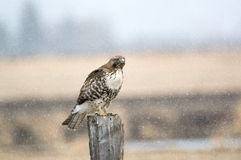 Hawk in the Snow Stock Photography
