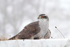 Hawk on snow Stock Photography