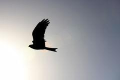 Hawk Soaring in the Sky. With the Sun Stock Image