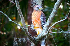 Hawk standing on one leg Stock Images