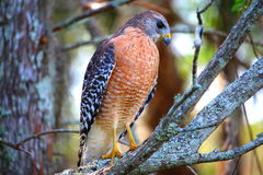 Hawk standing on the tree limb Stock Photos