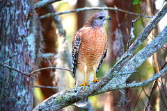 Hawk standing with wings closed Royalty Free Stock Photo