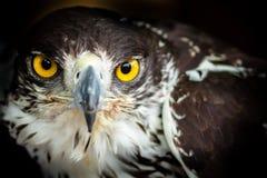 Hawk staring into camera. Dark hawk staring into camera Royalty Free Stock Photography