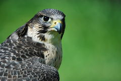 Hawk. Staring into the distance with green background Royalty Free Stock Image