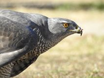A hawk after a successful hunt royalty free stock photos