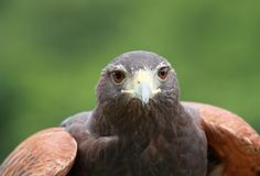 Hawk during summer Royalty Free Stock Photo