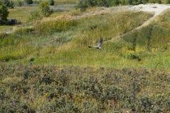 Hawk takes flight Stock Photo