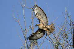 Hawk takes flight. Royalty Free Stock Images
