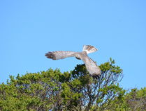 Hawk Taking Flight Stock Photos