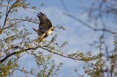 Hawk Taking Flight Rosso-munito Fotografia Stock Libera da Diritti