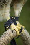 Hawk talons on perch. Closeup of the talons of a Red-Tailed Hawk as it clings to a rope perch. Species: Buteo Jamalcensis stock image