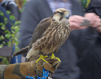 Hawk. Tame used to hunt Royalty Free Stock Photos