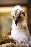 Hawk Three olhando fixamente Foto de Stock Royalty Free