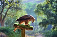 Hawk Stock Images
