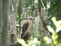 Hawk in Tree Stock Images