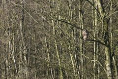 Hawk in a tree. In the park at Vossenberg Wijster, Netherlands Stock Photography