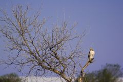 Hawk in a tree. A hawk resting on a dead tree Royalty Free Stock Photo