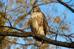 Hawk. Royalty Free Stock Images