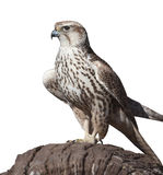 Hawk on a tree stump, isolated Stock Photo