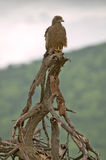 Hawk in tree in Umfolozi Game Reserve, South Africa, established in 1897 Stock Image