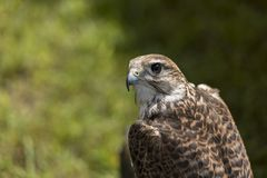 Hawk Royalty Free Stock Photography